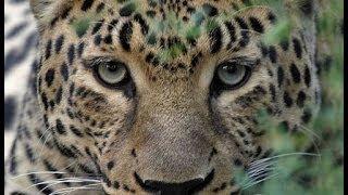 Леопард. Уберечь каждого.