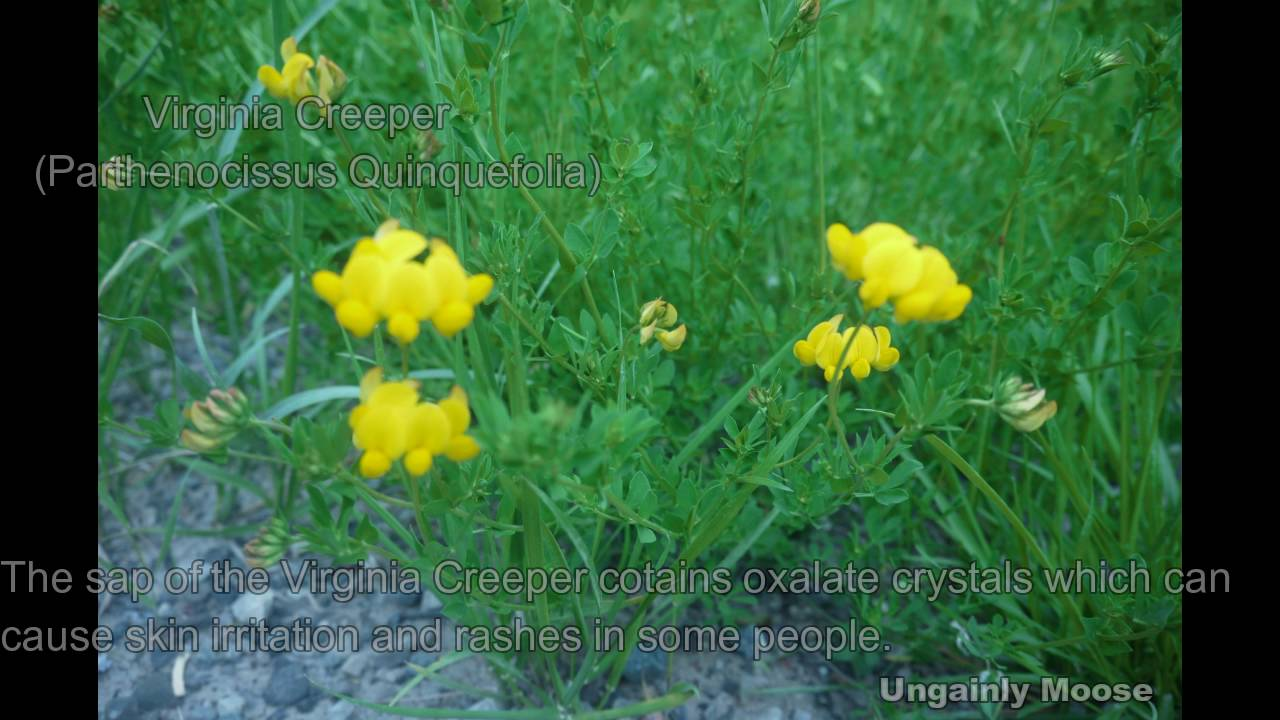 Cambridge Ontario Wildflower Weed Identification With Plant Facts