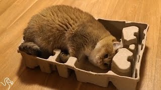 Cat Decides He WILL Fit Into This Box No Matter What