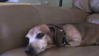 Dachshund, The Old Gal Still Has Something To Say