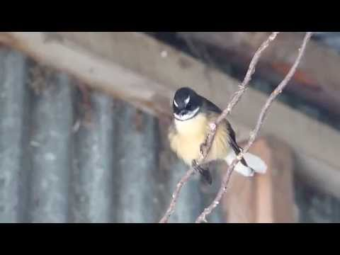 New Zealand Fantail HD from YouTube · Duration:  36 seconds