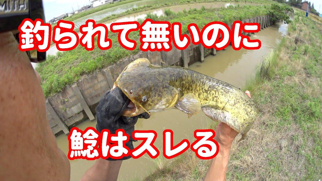 梅雨 ナマズ釣り5日目~投げたらスレる~【423】虫くん釣りch