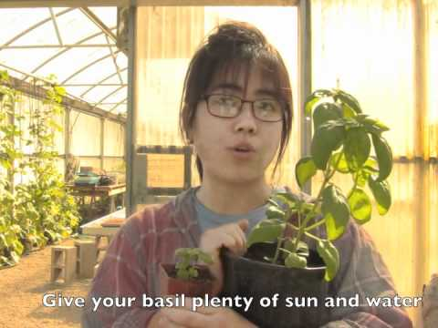 how to care for your new basil plant youtube. Black Bedroom Furniture Sets. Home Design Ideas