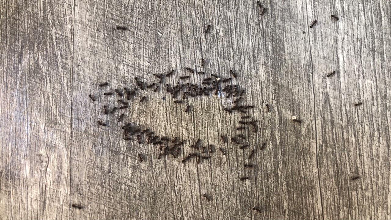 Kitchen (Ants)