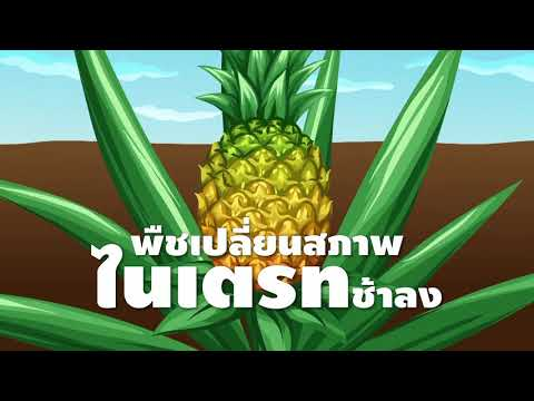 สับปะรด ตอนที่ 4: ผลผลิตเติบโตฉลุย แค่ใส่ปุ๋ยให้ถูกวิธี