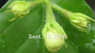 Sampaguita flower-mini video