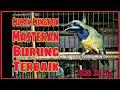 Suara Cucak Cungkok Gacor Burung Masteran Terbaik Cocok Untuk Masteran Murai Batu  Tembakan(.mp3 .mp4) Mp3 - Mp4 Download