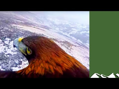 Onboard a golden eagle soaring over snowy Scotland