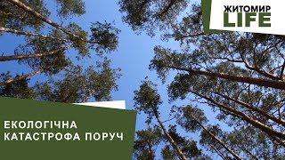Екологічна катастрофа поруч: жук-короїд «вбиває» хвойні ліси Житомирської області