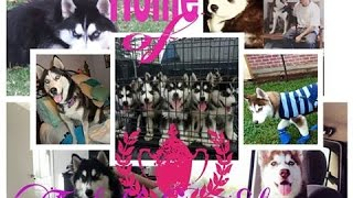 Amy's Litter Of All Woolie Siberian Husky Puppies