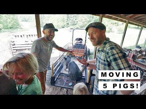 Moving PERMACULTURE PIGS with JUSTIN RHODES