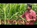 Co 5 / Cumbu Napier Hybrid Fodder Grass - Cultivation Practices, Importance & Uses in Tamil