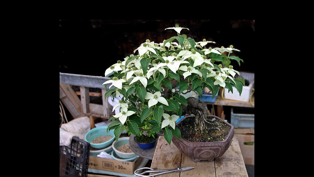 How To Grow Dogwood Bonsai Tree Youtube