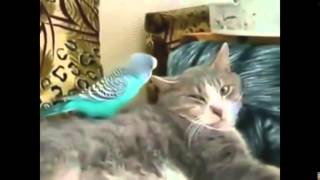 Коты и птицы  Cats and birds  Как коты уживаются с птицами  Прикольное видео!