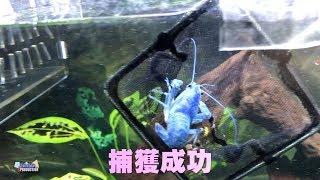 藍螯蝦脫殻後的小手術@混養魚缸更新分享2019年5月#7_中文字幕