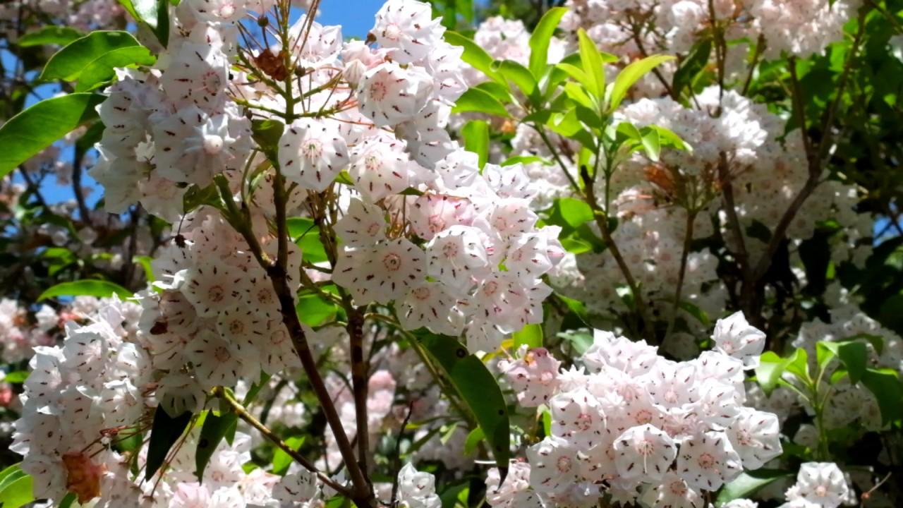 カルミア(アメリカシャクナゲ)の花 kalmia - YouTube