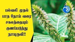 பல்வலி முதல் பாத நோய் வரை சகலத்தையும் குணப்படுத்து நாயுருவி!! - Tamil TV