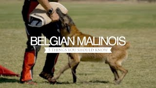 BELGIAN MALINOIS FIVE THINGS YOU SHOULD KNOW