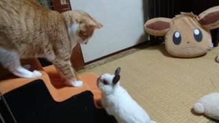 不法侵入した猫を許さないうさぎ thumbnail