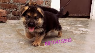 Long coat German shepherd or golden retriever puppies for sale