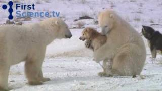 Polar bears and dogs playing thumbnail
