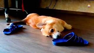 Funny Corgi Video 2017 # 15