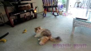 14 10 19 Persian kitty, Sequoia, speaks