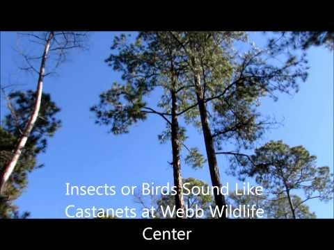 Insects Or Birds Sound Like Castanets At Webb Wildlife Center