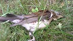 "Dead fieldfare bird (""räkättirastas"")"