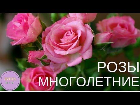 35 видов многолетних роз для дачи. Многолетники. Садоводство. Цветоводство. Многолетние растения