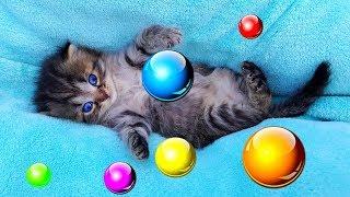 Маленький котенок учится ходить и все время падает:) Котенок играет и кусает Алис:) Видео про котят!