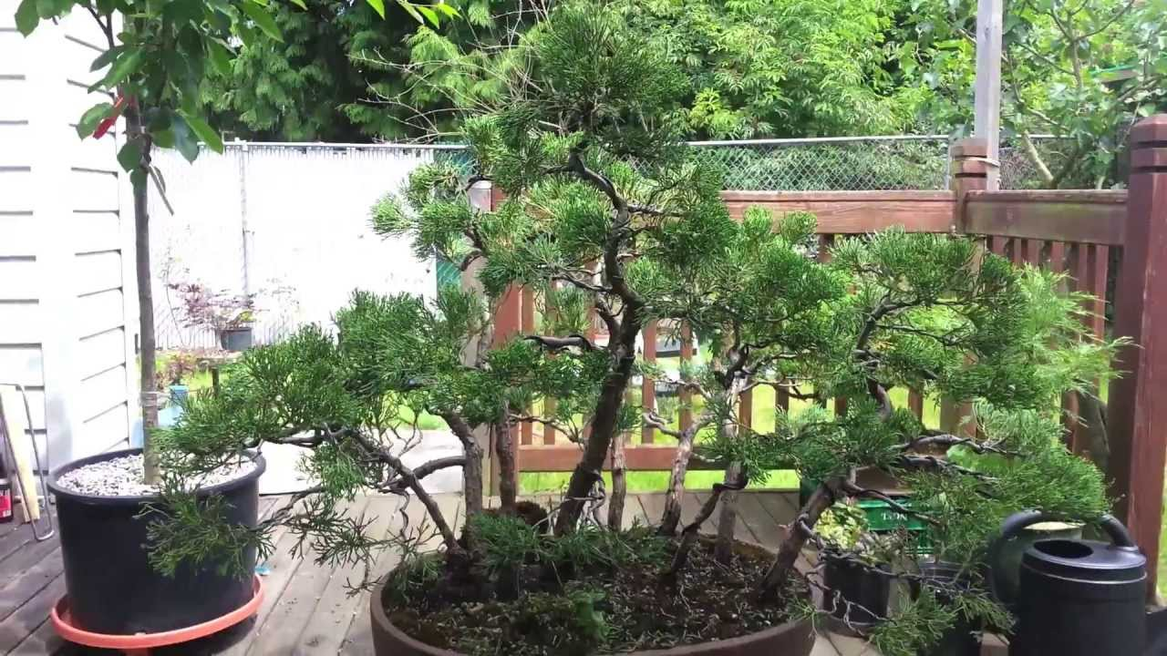 Sprucing Up A Forest Bonsai Youtube Wiring Demo