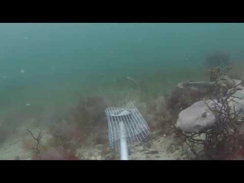 Seagrass Meadow - Porthdinllaen