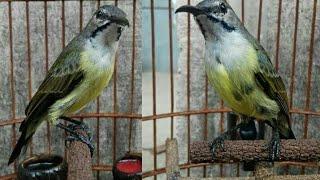 Kolibri Black Sunbird Gacor Youtube