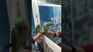 Alexander Papağanı Konuşma Yeteneği (Büyük İskender)