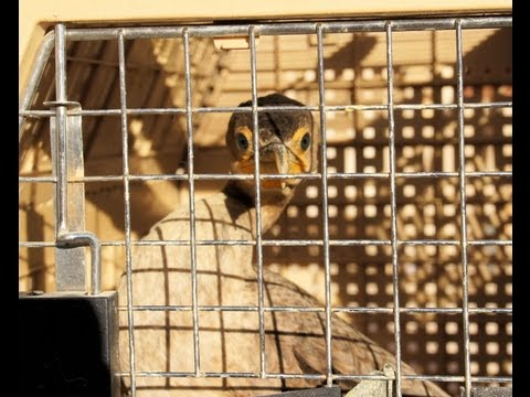 Injured Cormorant in Muleshoe