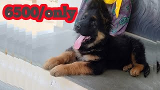 German shepherd puppies for sale in low price