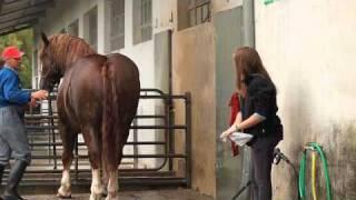 Cavallo agricolo italiano da tiro pesante rapido (1)