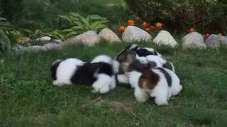 Shih Tzu Puppies Of 2 Months ( Kennel Alpiu Slenis)