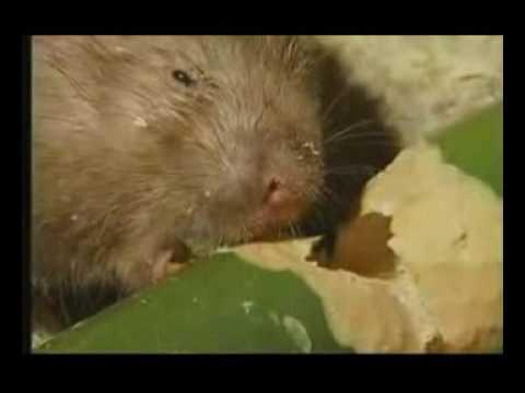 南充竹鼠养殖技术视频(流畅)