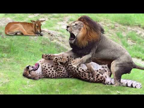 Amazing Male Lion Rescue Baby Impala From Five Cheetah Hunt | Animals Save Other Animals