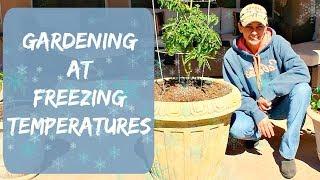 A GARDENING VIDEO - Garden Update After Freezing Weather in Arizona