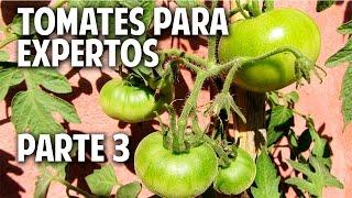 Máxima producción de tomates en maceta Parte 3 - Como Atar las tomateras @cosasdeljardin