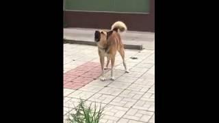 Агрессивная собака у бани в Твери