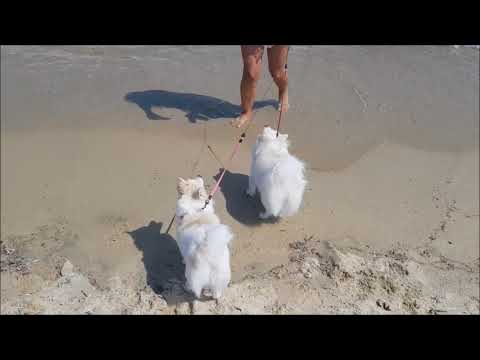 German Spitz Meets The Beach Sand & The Sea