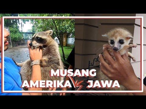 MUSANG AMERIKA VS JAWA