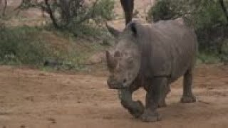 Rhino horn infused with poison and dye to deter poachers