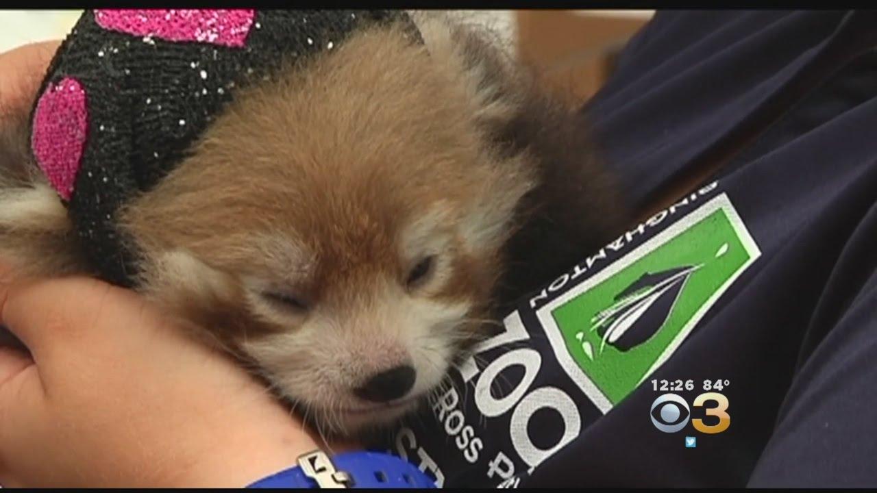 Red Panda Cubs Born At NY Binghamton Zoo