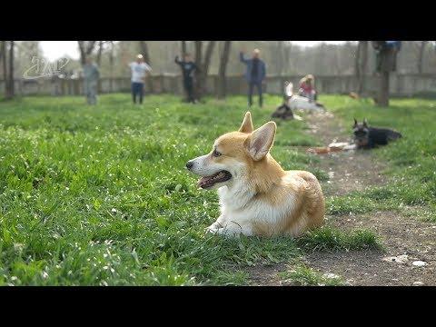 курс городского послушания для собак в Невинномысске