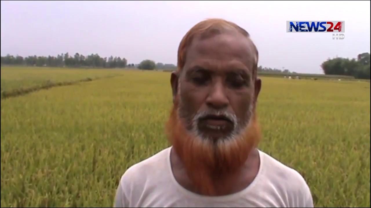 Download Dinajpur BRRI dhan74 (দিনাজপুর ব্রী ধান-৭৪)